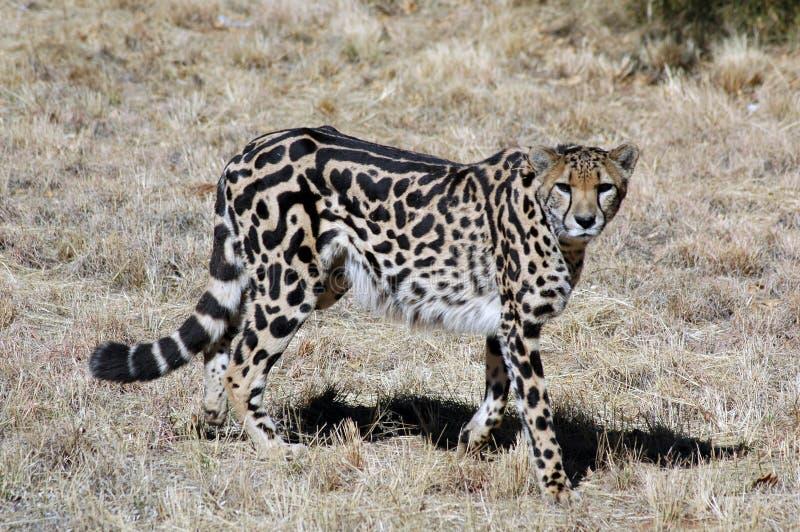 King Cheetah. A very rare cat of Africa, the King Cheetah royalty free stock photos