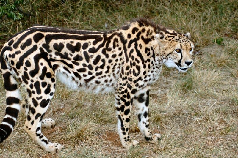 King Cheetah. Very rare animal. Strange pattern caused by a recessive gene royalty free stock photos