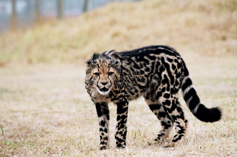 King cheetah cub with rare coat pattern stock image