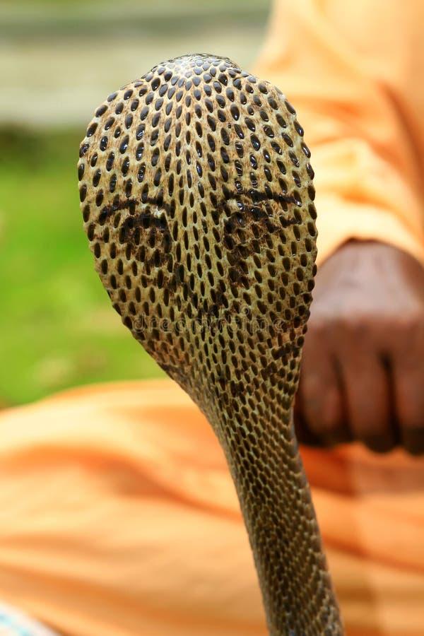 Download King cobra stock image. Image of land, background, king - 26027933
