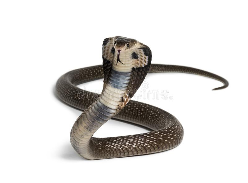 King cobra, Ophiophagus hannah, venomous snake against white. Background looking at camera against white background royalty free stock image