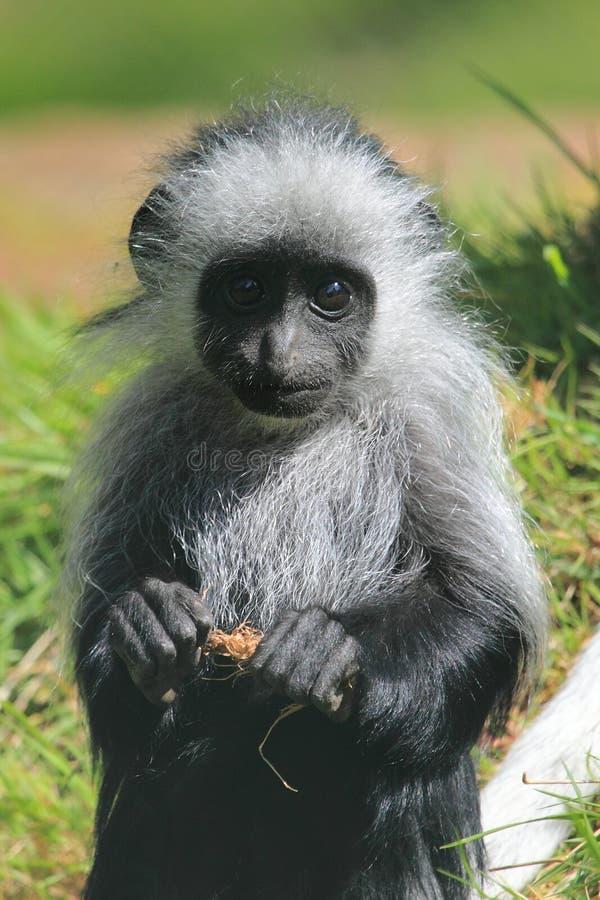 Free King Colobus Monkey Royalty Free Stock Image - 30942936