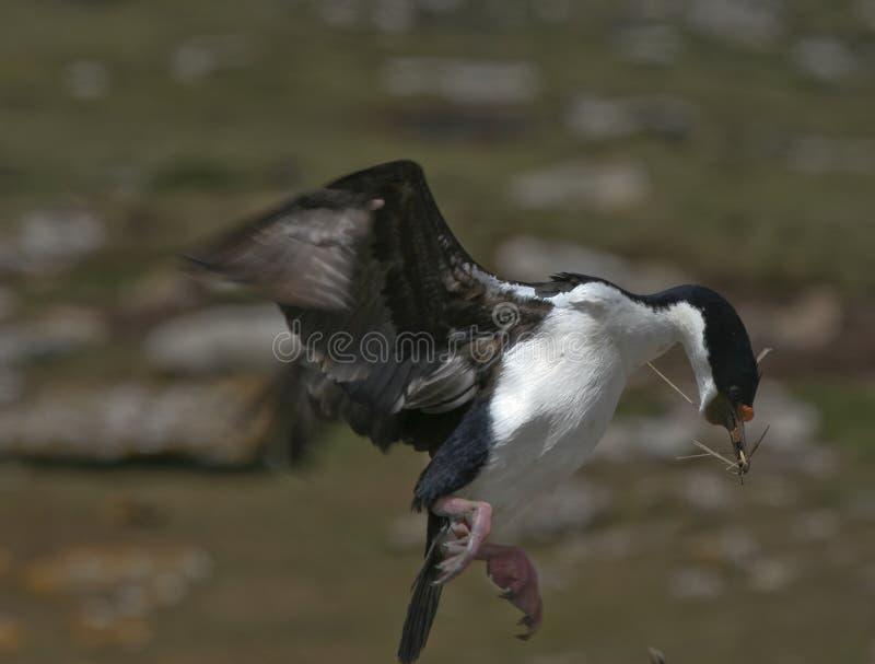 Download King Comorant Nesting Stock Photos - Image: 8791343