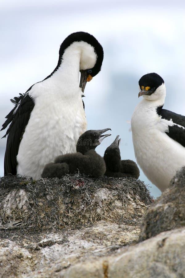 King cormorants stock photos