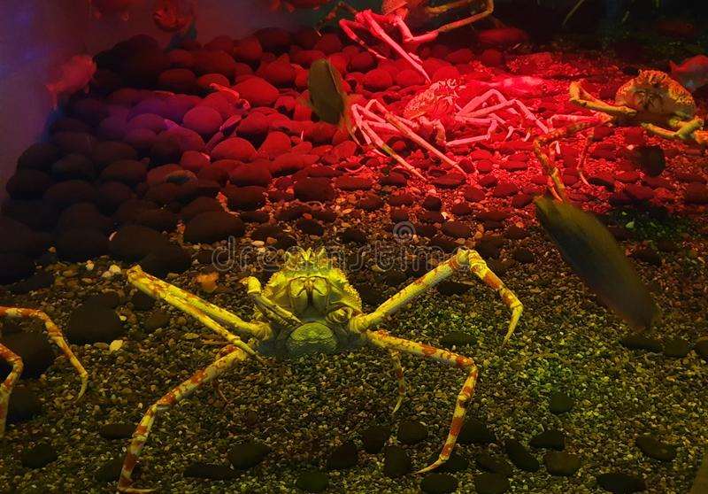 King crabs in the sea stock images