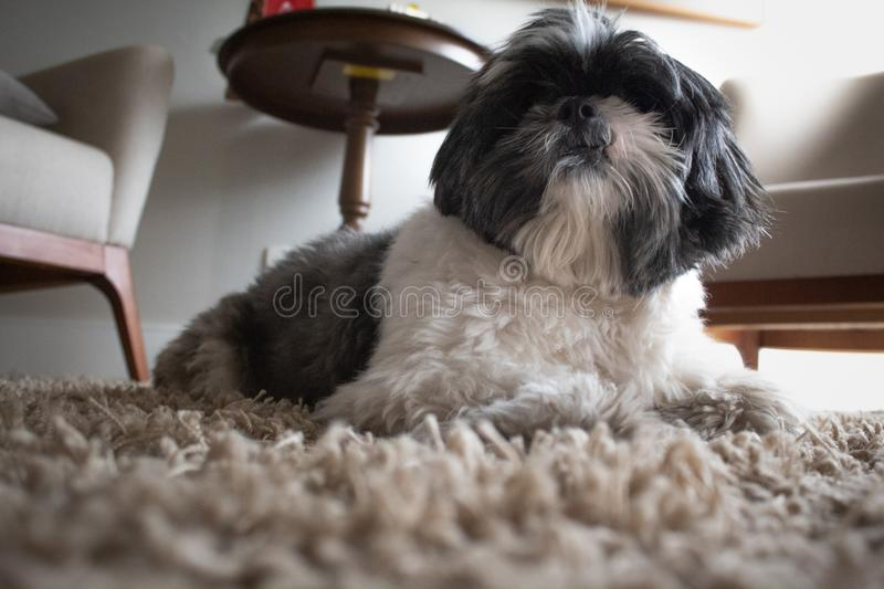 The king dog royalty free stock photography