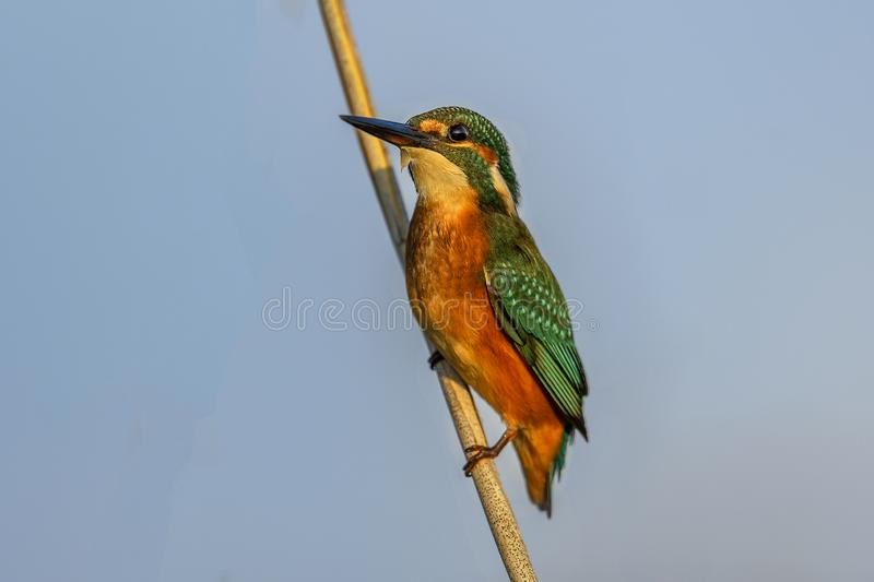 King Fisher closeup royalty free stock images
