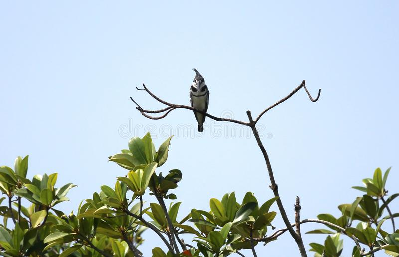 King fisher perched on a branch stock photography