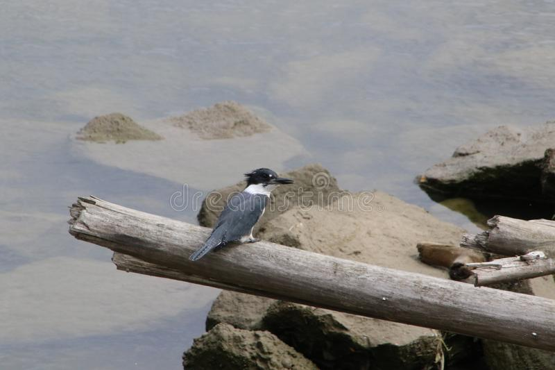 A king fisher perched on an old dead log stock photos