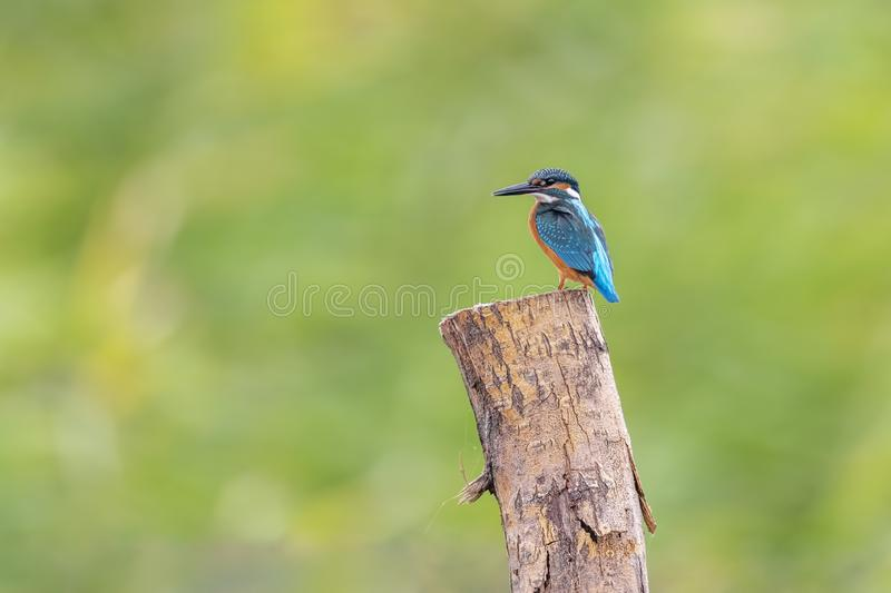 King Fisher sitting on a branch stock photography