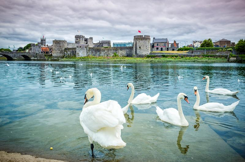 King John`s Castle. With many swans in the foreground, Limerick, Ireland royalty free stock photo