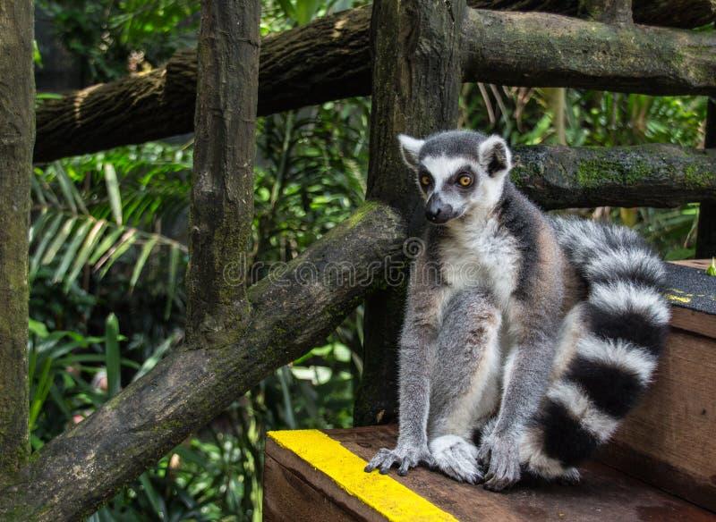 King Julian The Lemur. Cunning lemur in Singapore Zoo royalty free stock image
