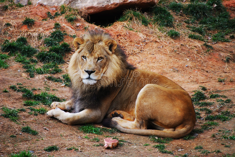 King of the Jungle royalty free stock image