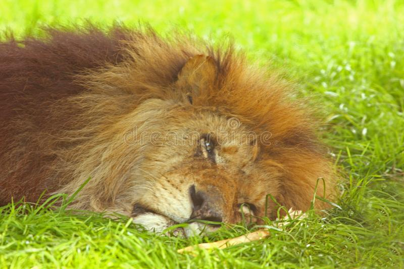 Download King of the Jungle stock photo. Image of predator, ferocious - 5324292