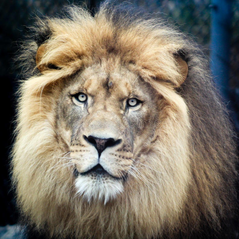 King of the Jungle. Gets his portrait taken royalty free stock image