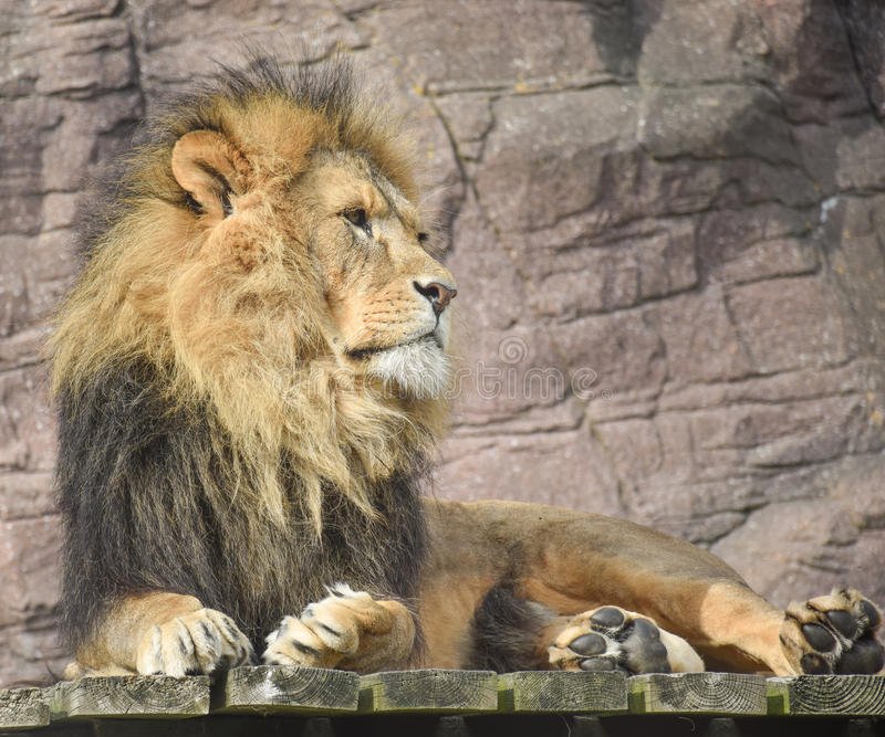 King of the Jungle stock photos