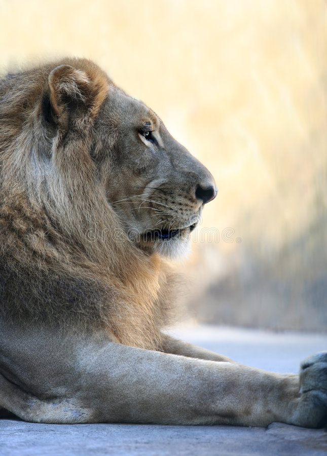King - lion royalty free stock photo