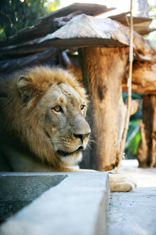 King-lion royalty free stock images