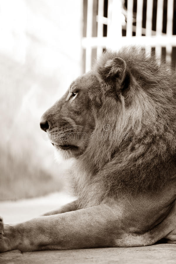 King - lion stock image