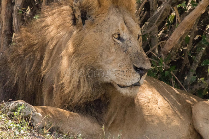 King Male Lion Portrait in Masai Mara royalty free stock image