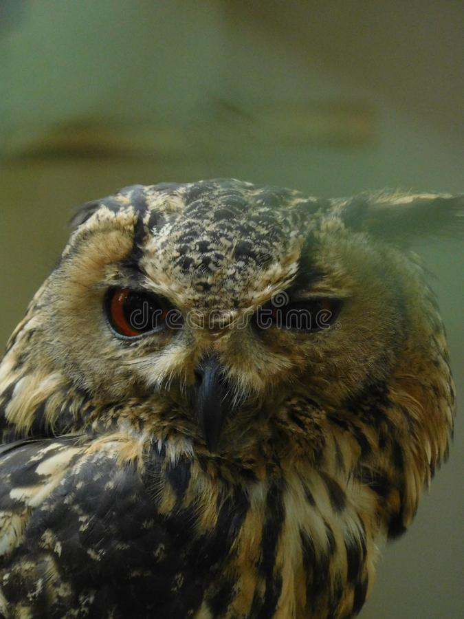King of night. Owls are birds from the order strigiformes ,which includes about 200 species of mostly solitary and nocturnal birds of prey typified by on upright royalty free stock image