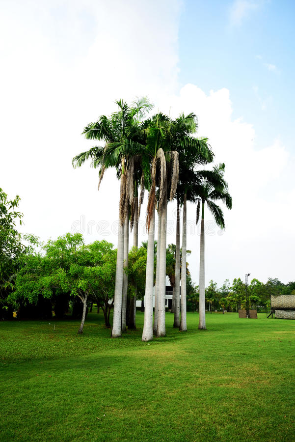 King palm. The large palm that can grow to height of 80 feet and has a gray colored trunk stock photo