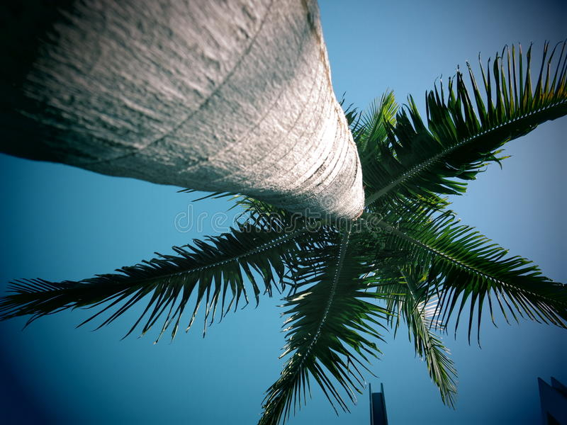 King palm tree. Low angle view looking to the top of a King palm tree with a blue sky background stock photos