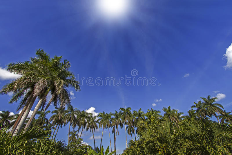 Download King Palm Trees Royalty Free Stock Photo - Image: 28639325
