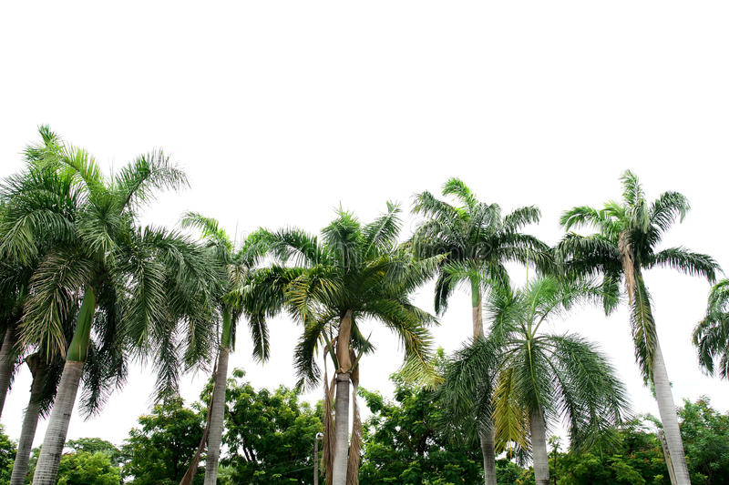 King palms. The palms have long beautiful green feather leaves and the trunks are gray to white in color stock image