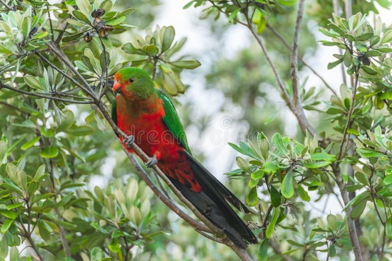 King-parrot stock photo