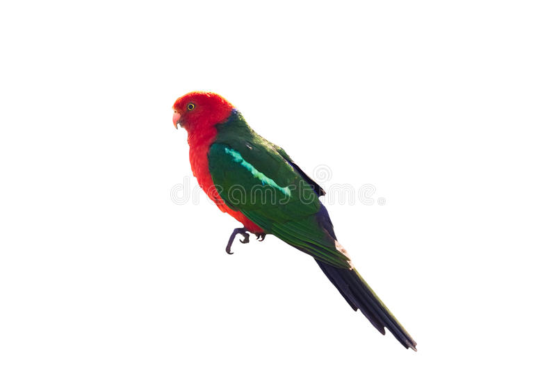 King parrot isolated on white royalty free stock photography