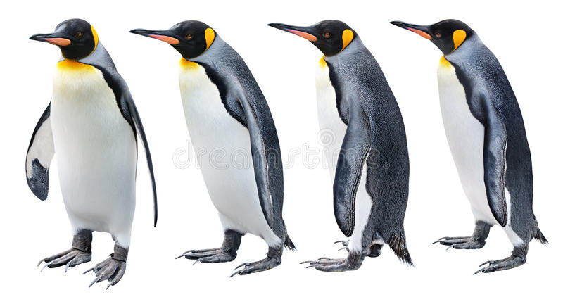 King Penguin. In various poses isolated on white
