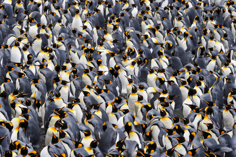 King Penguin. Colony standing together