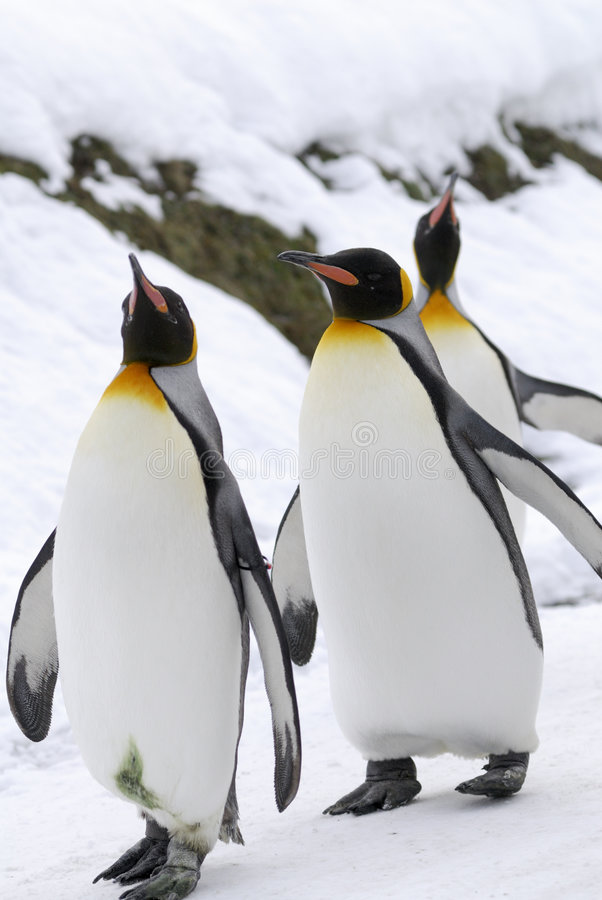 Download King Penguin stock photo. Image of conservation, lovely - 6010504