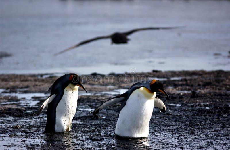 Download King penguin stock image. Image of penguin, pole, antarctica - 7181799