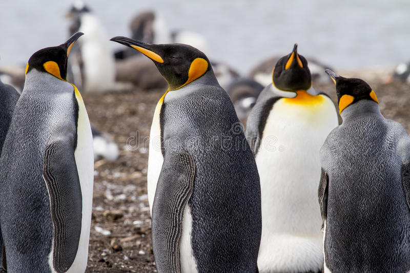 Download King Penguin stock photo. Image of antarctica, fuego - 88526280