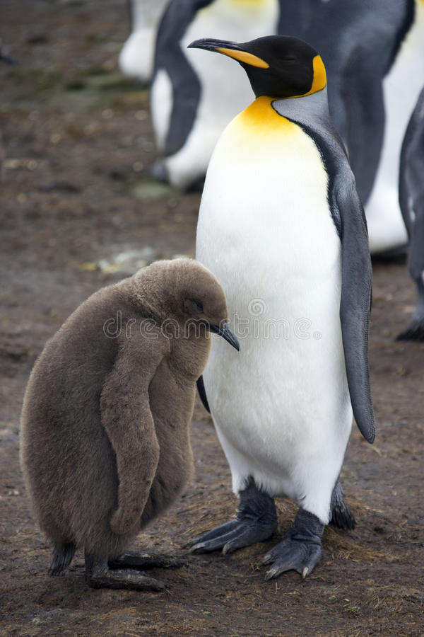 King Penguin & chick - Falkland Islands royalty free stock photography