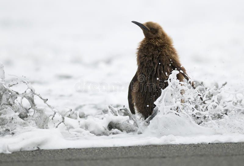Download King Penguin Chick (Oakum Boy) - Drenched Royalty Free Stock Images - Image: 11159879