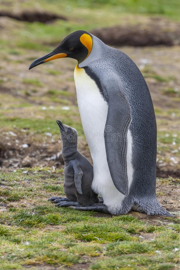 King Penguin and chick - Volunteer Point - Falkland Islands. King Penguin Aptenodytes patagonicus and young chick at Volunteer Point in the Falkland Islands royalty free stock photos