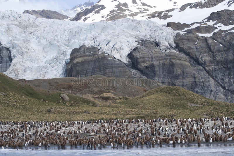 King Penguin Colony royalty free stock photography