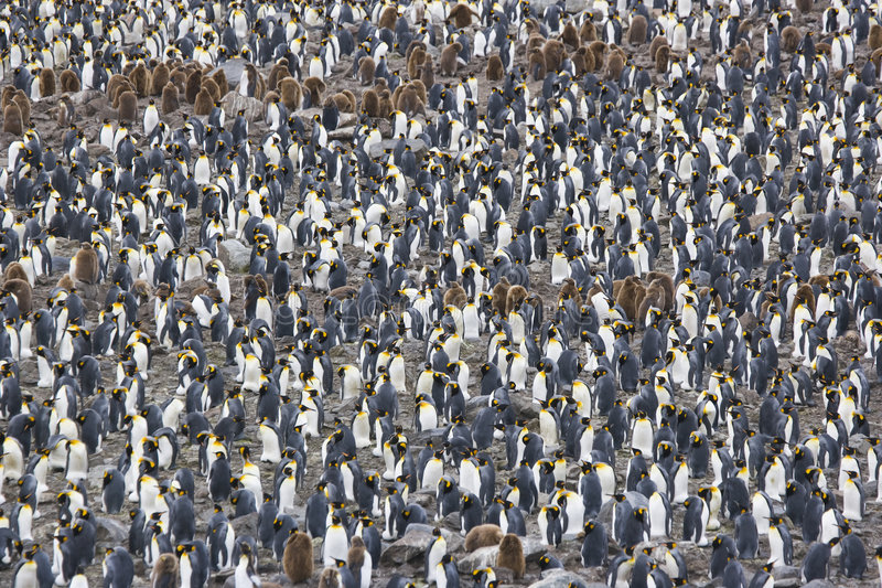 King Penguin Colony royalty free stock image