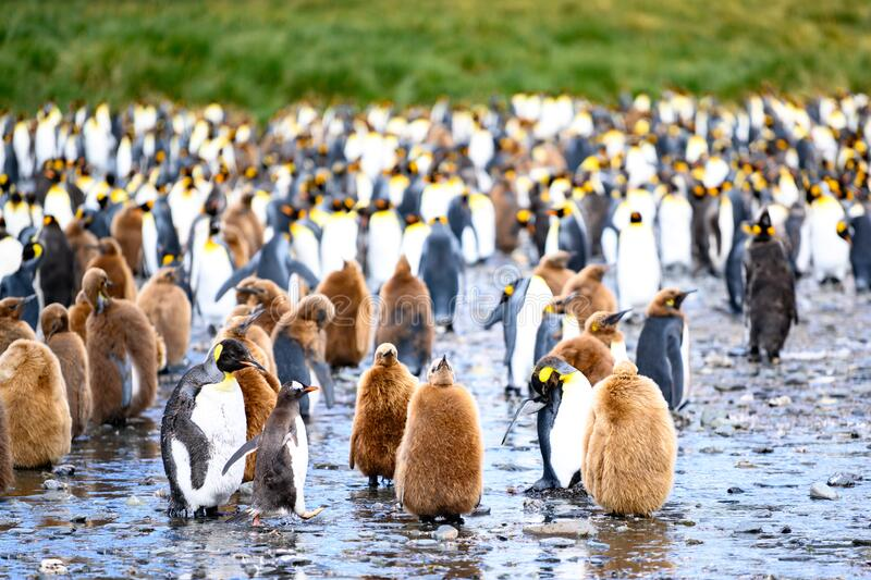 King penguin colony - Aptendytes patagonica -  brown fluffy chicks and adult penguins, South Georgia. King penguins together adult penguins with brown fluffy stock image