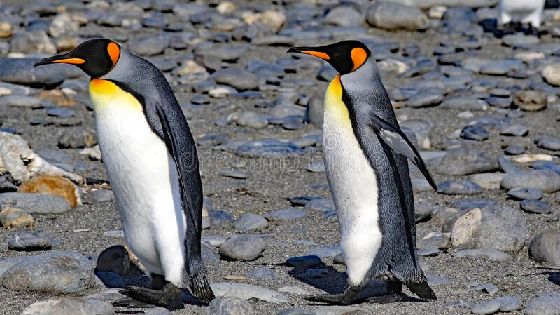 King penguin colony on South Georgia Island stock photo
