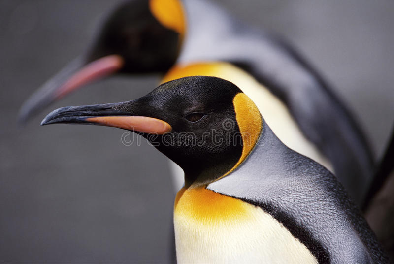 King Penguin Cose-Up royalty free stock images