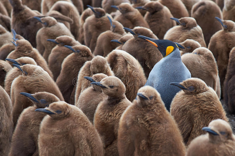 Adult King Penguin in a Creche of Chicks. Adult King Penguin (Aptenodytes patagonicus) standing amongst a large group of nearly fully grown chicks at