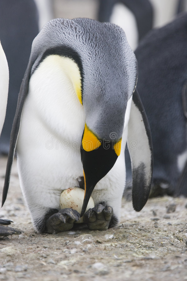 King Penguin with egg. A king penguin checks a freshly laid egg on her feet on South Georgia Island
