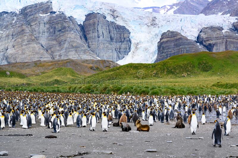 Colony of king penguins - Aptendytes patagonica - and some fur seals in front of green hills, rocks, glacier in South Georgia. King penguin group with some brown