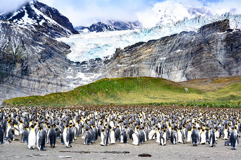 Thousands of king penguins - Aptendytes patagonica - standing in front of green hills, glacier, rocky mountains, South Georgia royalty free stock photos