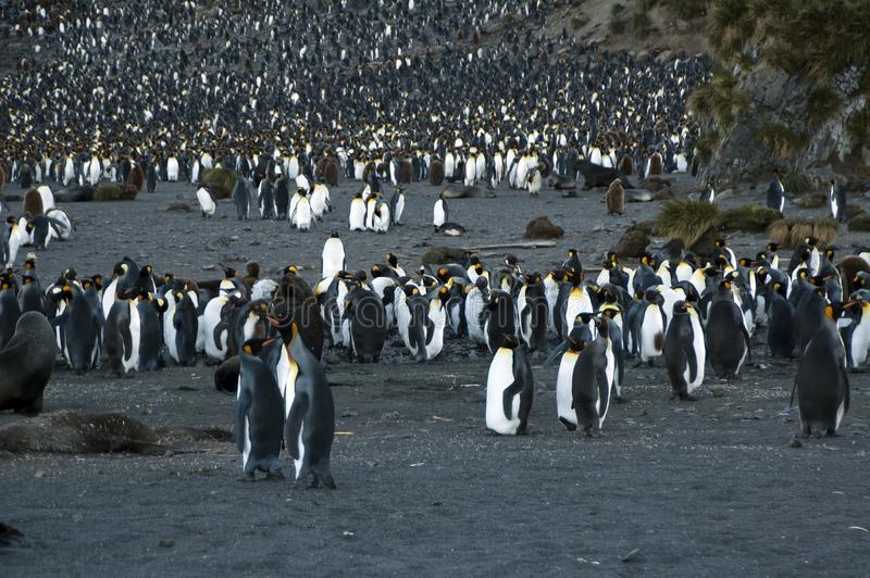 King Penguin rookery at dusk. Summer scene on Right Whale Bay, South Georgia Island stock image
