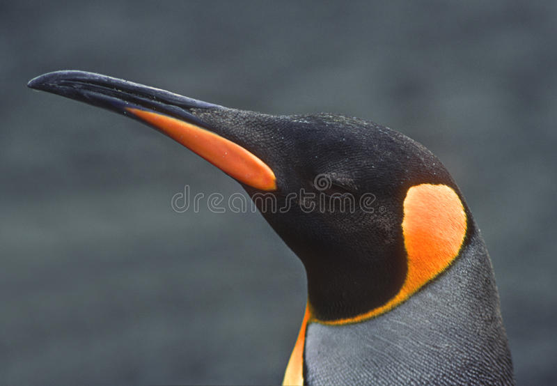 King Penguin, South Georgia royalty free stock images